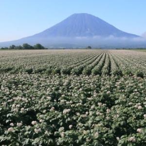 ジャガイモ畑と羊蹄山