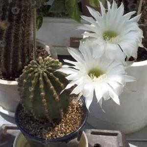 白いサボテンの花