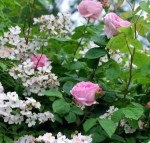 ★ 薔薇の季節 ★