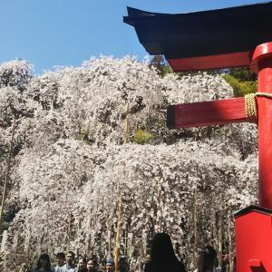 桜&カレー
