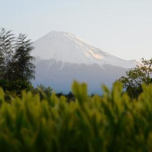 今朝の富士とお茶の若芽