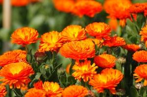 千倉の千田の花畑を復活させるためのクラウドファンディングが始まりました