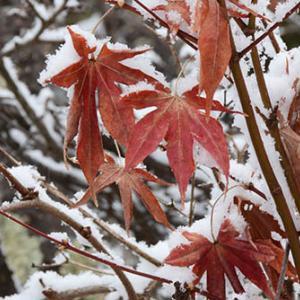 この冬2度目の雪で目立つカエデの赤い残り葉