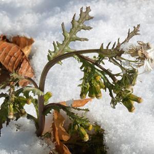 厳寒の環境で開花・結実する外来種ノボロギク