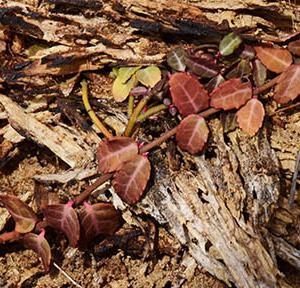 華やかな王朝文化に由来する名前、テイカカズラの渋い紅葉