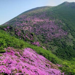 ミヤマキリシマの開花状況