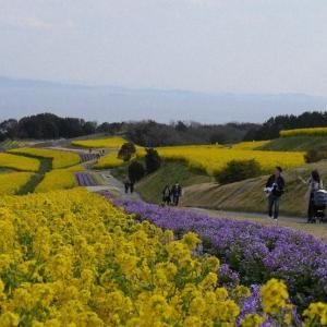 明石海峡一望できる黄色いじゅうたん 菜の花100万本見ごろ 淡路