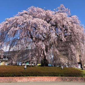 愛子駅前のしだれ桜