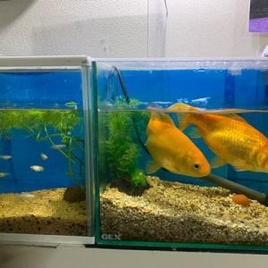 金魚の寿命は?