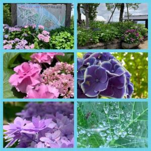 芦刈園の紫陽花