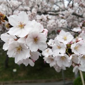 茂原公園の桜