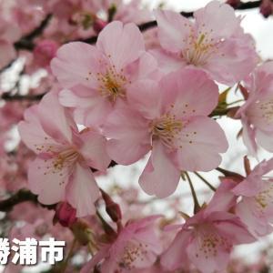 官軍塚の桜【千葉県勝浦市】