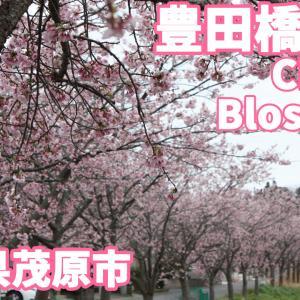 豊田橋の川沿い桜道
