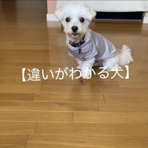 2021.5 我が家の愛犬は【違いがわかる犬】デシタ