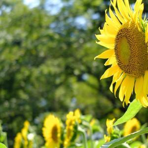 暑い日にはひまわりの花が似合う(昭和記念公園3)
