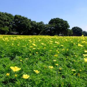 黄色い花畑に黄色い扉(昭和記念公園5)