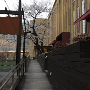 マンガミュージアムの桜と高野川の桜