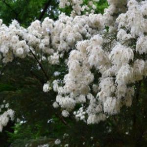 メラレウカ アルテルニフォリアの花