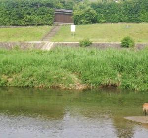 高野川に鹿がおった