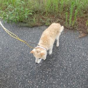埼玉県羽生市 122号線沿いにて 迷子犬を見つけました(^^♪