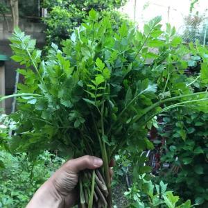 庭セリと三つ葉