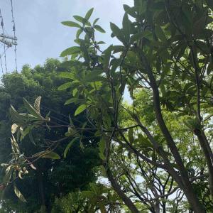 母日誌~ビワの木