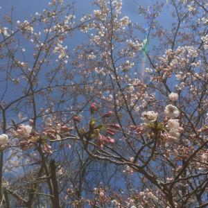 花は桜と言いますが…