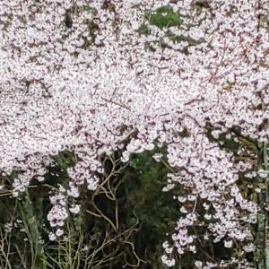 岡豊山の桜
