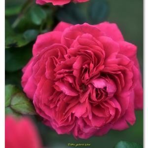 秋の薔薇  レッド レオナルド ダ ビンチ