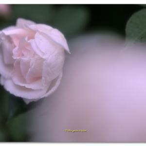 秋の薔薇  ロック・ヒル・ピーチ・ティー