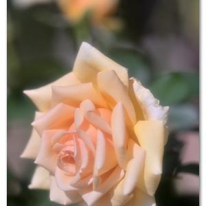 秋の薔薇  バレンシア
