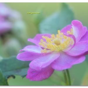 秋の薔薇 ラベンダードリーム