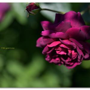 春薔薇 ローズ ドゥ クミコ