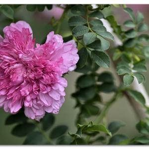 春薔薇 イザヨイバラ