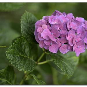 西洋紫陽花   スマイルピンク