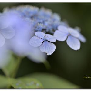 蝦夷紫陽花   エゾホシノ