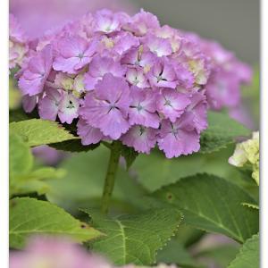 西洋紫陽花   アバンダンス