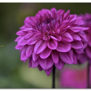 ダリア  紫宝丸