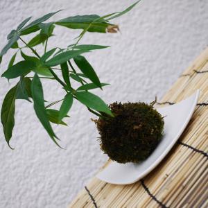 パキラの苔玉