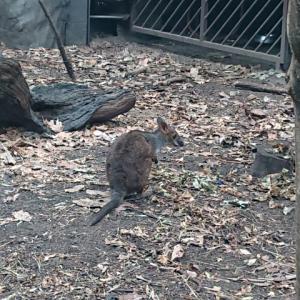 ワイルドライフシドニー動物園 カンガルー