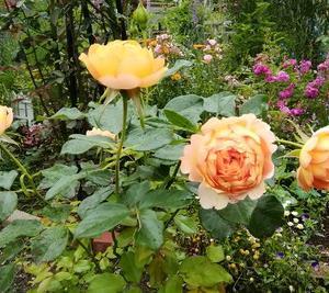 薔薇と宿根草のお庭
