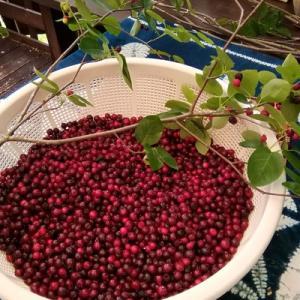 ジューンベリーの収穫、そして老犬メグ