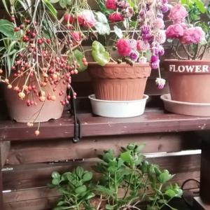 庭の花でドライフラワー作りはじめました。