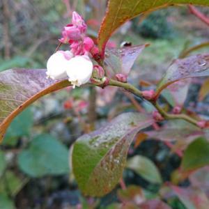 干しリンゴに柿。ブルーベリーの花。