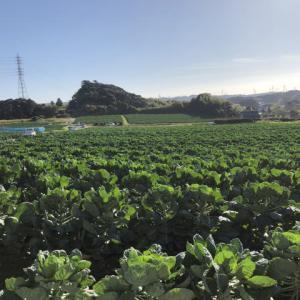 芽キャベツの産地