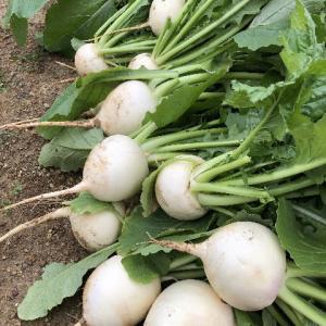 野菜の収穫 ~カブ・ほうれん草・・白菜~