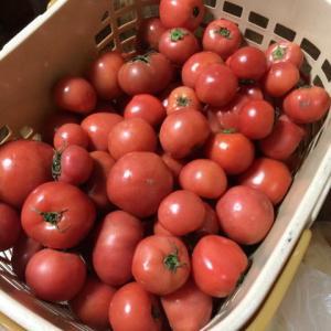 いただき物のトマト