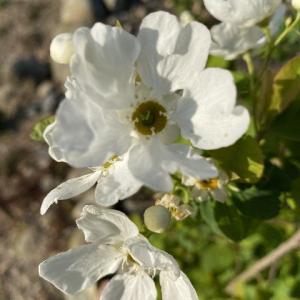 利休梅と桃の花