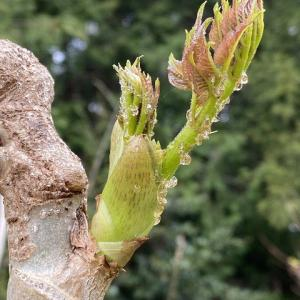 タラの芽とワラビ、ヨーグルトマンゴー・・