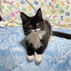 黒白猫のオーナー様を募集します